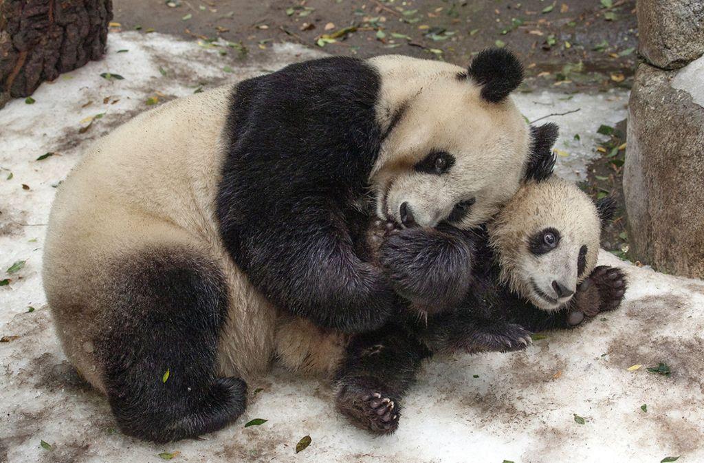 """Heute gelten die Pandas als """"gefährdet"""". Foto: San Diego Zoo Global"""