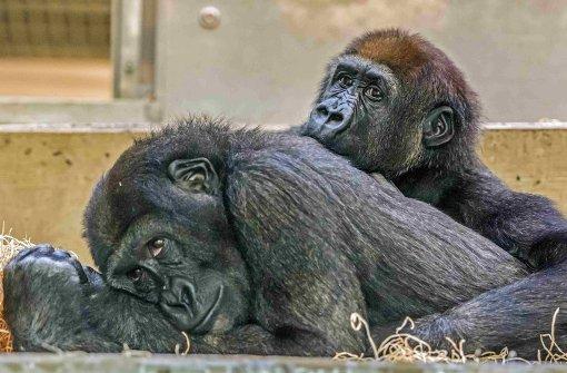Wilhelma-Gorillas erkunden Zoo in Dublin