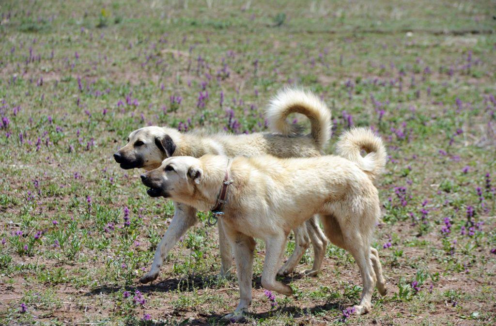 Zwei Kangal-Hirtenhunde haben eine Radfahrerin in Waghäusel zu Fall gebracht (Symbolbild). Foto: Shutterstock/halitomer