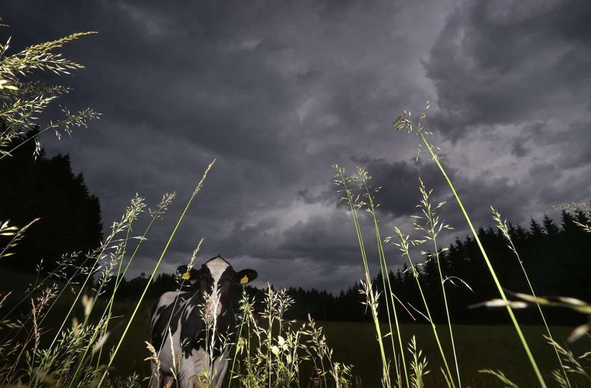 Auch die Kühe im bayrischen Stötten waren von den Gewittern betroffen. Foto: dpa/Karl-Josef Hildenbrand