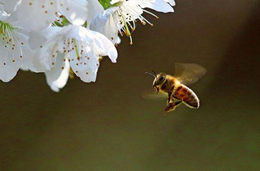 Die  Biene ist ein Bestäubungswunder