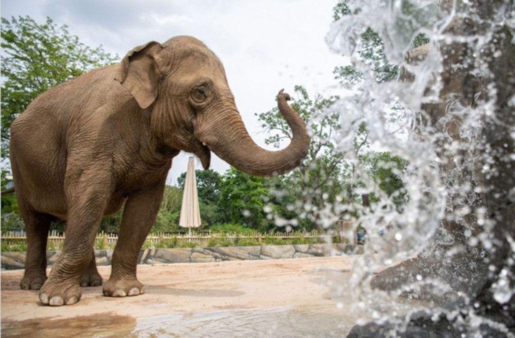 Alte Elefanten bekommen im Karlsruher Zoo ein neues Zuhause. Foto: Glomex