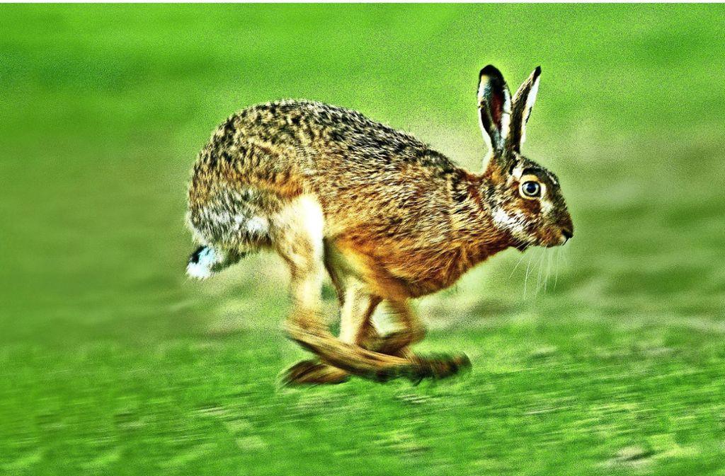 Hasen müssen sich erst im September vor Jägern in Acht nehmen. Foto: dpa