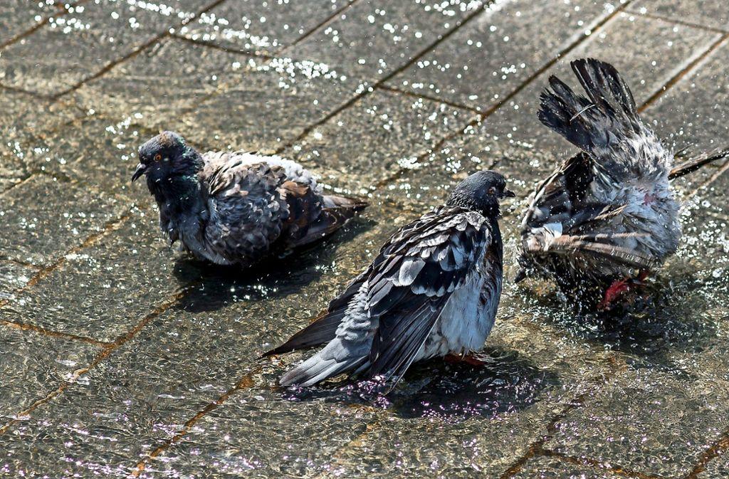 In Corona-Zeiten wird für Tauben die Nahrung knapp. Foto: Lichtgut/Leif Piechowski