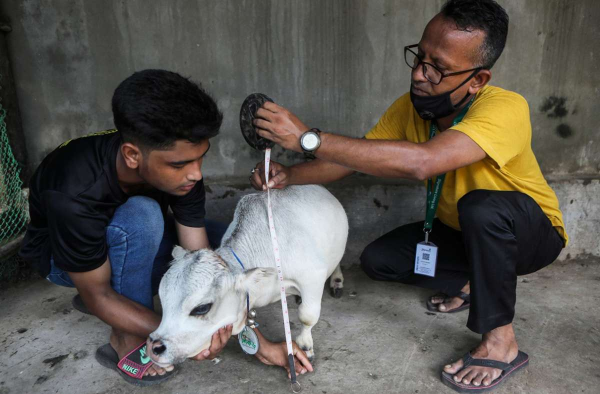 Die Mini-Kuh Rani soll nur  50,8 Zentimeter hoch gewesen sein Foto: dpa/Abdul Goni