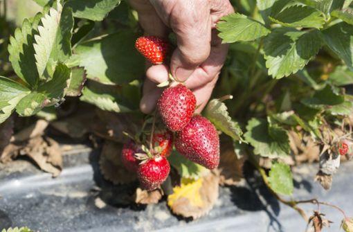 Tausende Kilo  Erdbeeren verloren