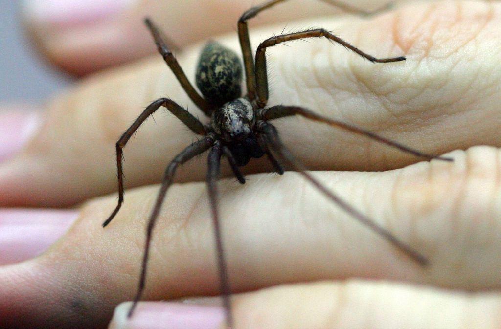 Winkelspinnen gehören zu den unbeliebtesten Tieren – kaum jemand möchte sie auf die Hand nehmen. Foto: dpa