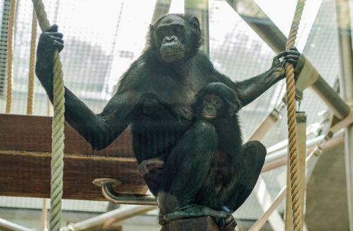 Verstoßenes Bonobo-Baby findet eine neue Familie