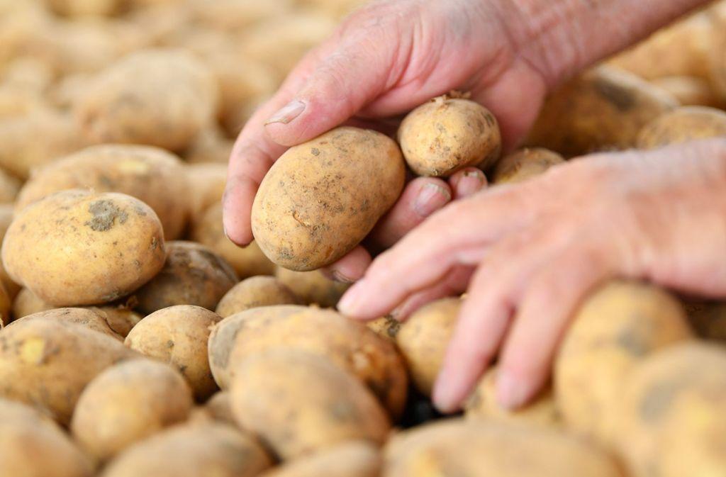 Die Qualität der aktuellen Kartoffelernte lässt zu wünschen übrig. Foto: dpa