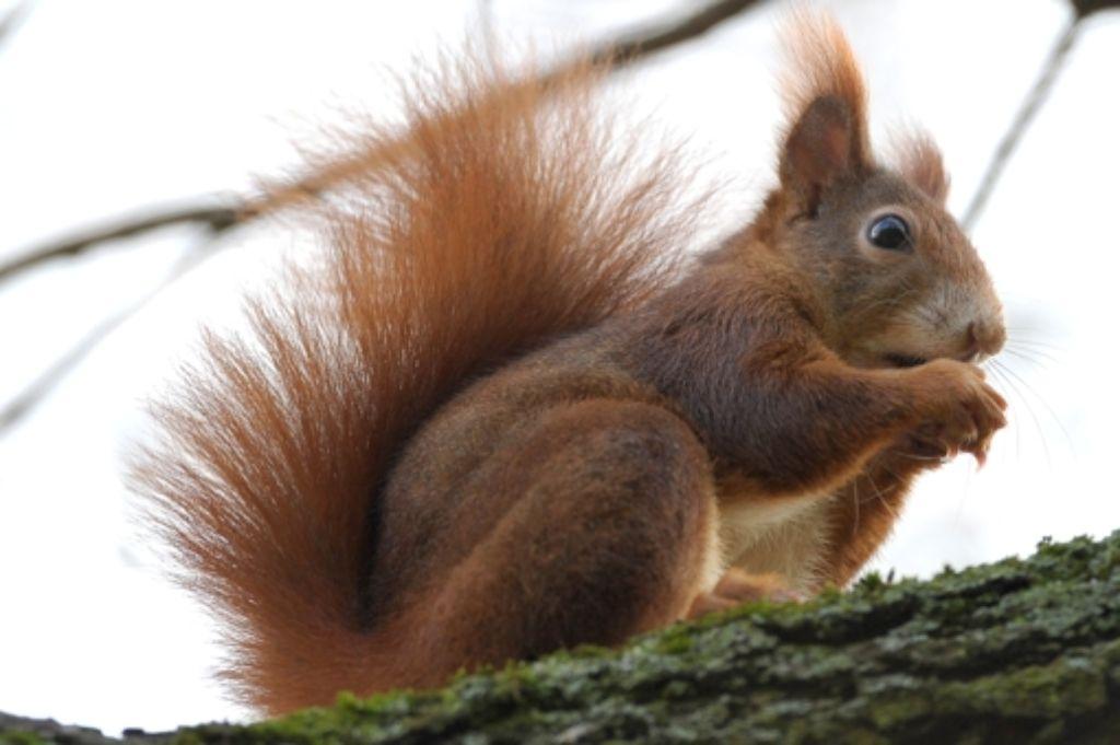 Eichhörnchen graben viele Verstecke - zur Sicherheit, falls eines geplündert wird. Foto: dpa
