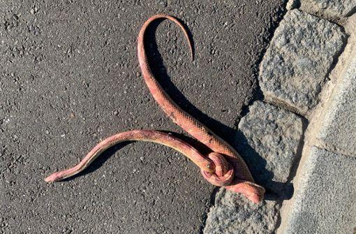 Tote Schlange mit verknotetem Körper gefunden
