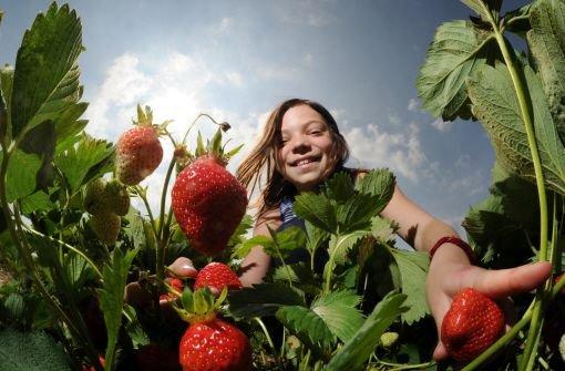 Süße Früchtchen: Erdbeeren selbst pflücken in Stuttgart und Region