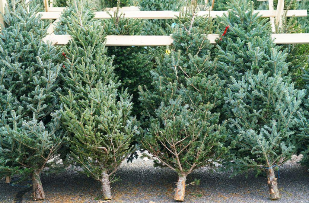 Ob groß oder klein – beim Weihnachtsbaumkauf  hat man die Qual der Wahl. Foto: Shutterstock/ND700