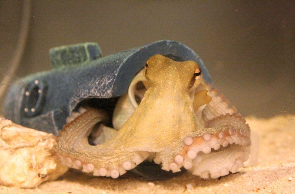 Ein Oktopus ist ein wirbelloses Tier. Forscher haben bei einer speziellen Art nun getested, wie die neuronalen Mechanismen der Kraken bei Ecstasy funktionieren. Foto: dpa
