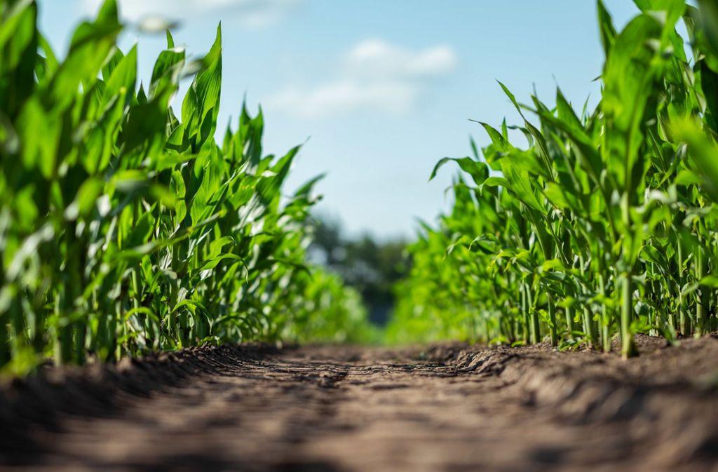 In einem Maisfeld werden häufiger Cannabis-Plantagen gefunden (Symbolbild). Foto: dpa