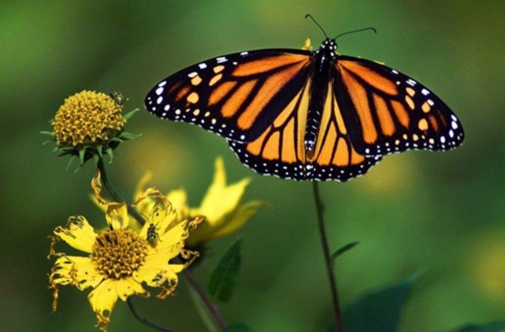 Ein Monarchfalter fliegt bis zu 4000 Kilometer in sein Winterquartier. Foto: AP