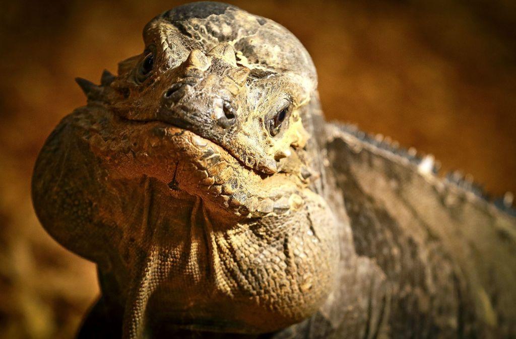 Dieser Leguan hält sich an die Peta-Empfehlung. Er frisst nur Pflanzen. Foto: factum/Granville