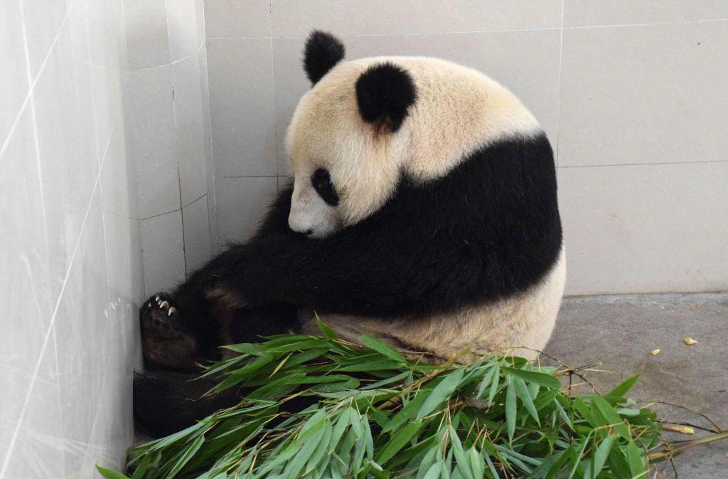 Panda-Dame Haizi ist mit umgerechnet 80 Jahren die weltweit älteste Panda-Mutter. Foto: AFP