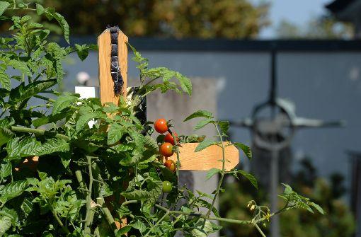 Tomaten dürfen auf Grab gepflanzt werden