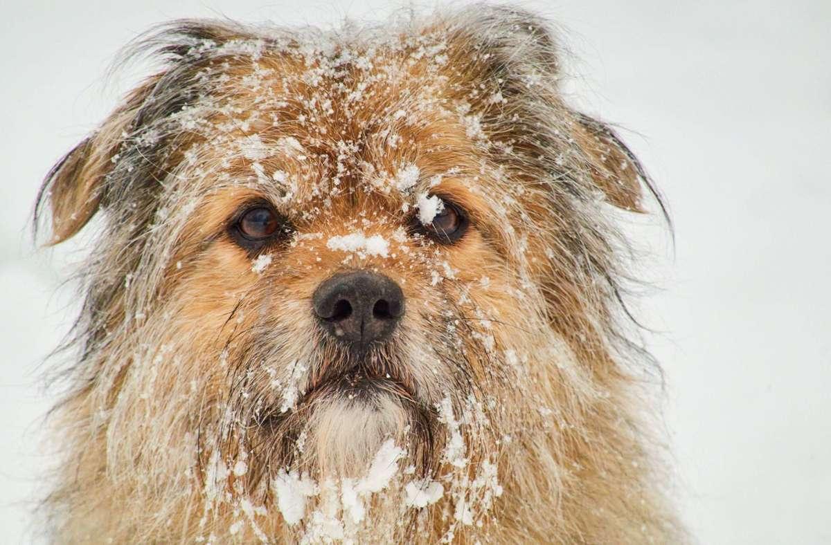 Hunde haben beim Winterspaziergang oft viel Spaß – doch einige Dinge sollten die Besitzer beachten. Foto: imago images/Action Pictures