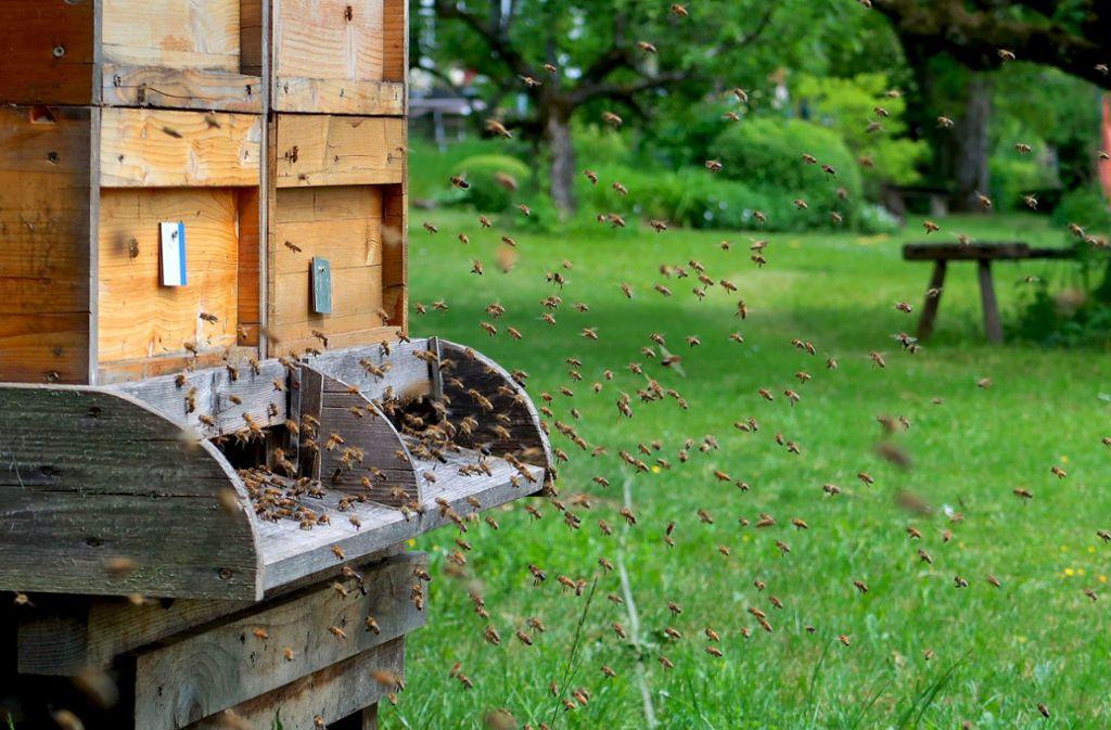 Inzwischen fliegen die Bienen in voller Stockstärke, allerdings gibt es für sie in der Natur kaum mehr etwas zu holen. Neben Obstbäumen und Wiesen sind auch die Rapsfelder weitgehend verblüht. Foto: Thomas Hehn