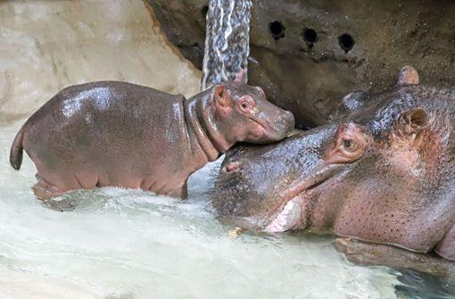 Hippo Halloween macht seine ersten Schritte