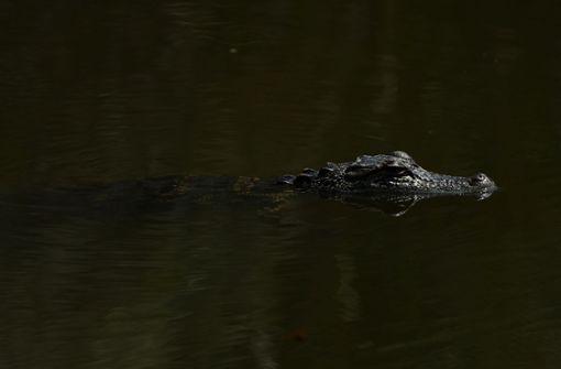 Männer nötigen Alligator zum Biertrinken