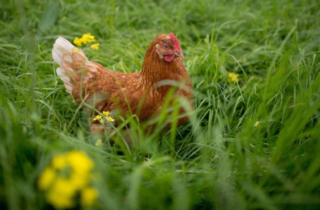 Glückliches Huhn: freier Auslauf, ausreichend Pick-Material. Foto: dpa