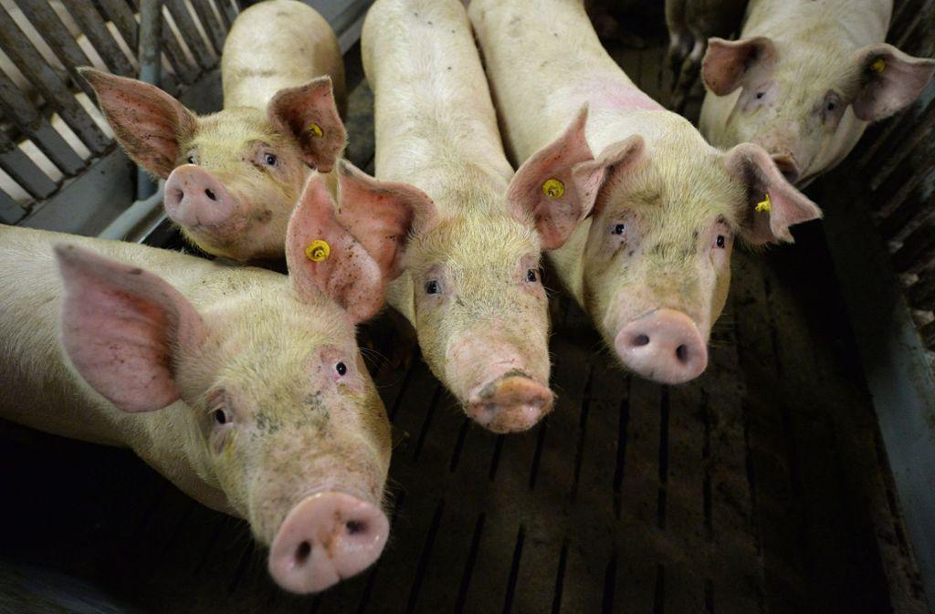 In einem großen Zuchtbetrieb mit 19 500 Schweinen in Litauen sind Fälle der Afrikanischen Schweinepest aufgetaucht. (Symbolbild) Foto: dpa
