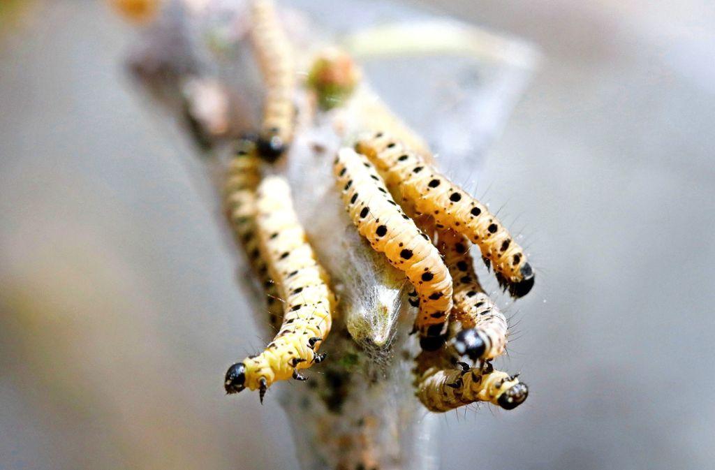 Die Raupen haben keinerlei Brennhaare und sind deshalb für die Menschen völlig ungefährlich. Foto: Michael Eick