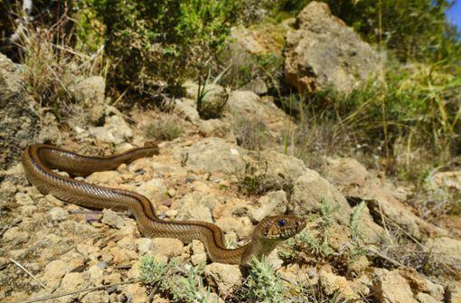 Schlangen verbreiten sich auf  Urlaubsinsel