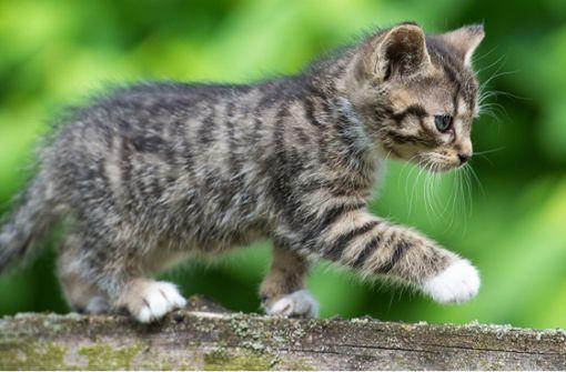 Katze vom Gipfel einer Tanne gerettet