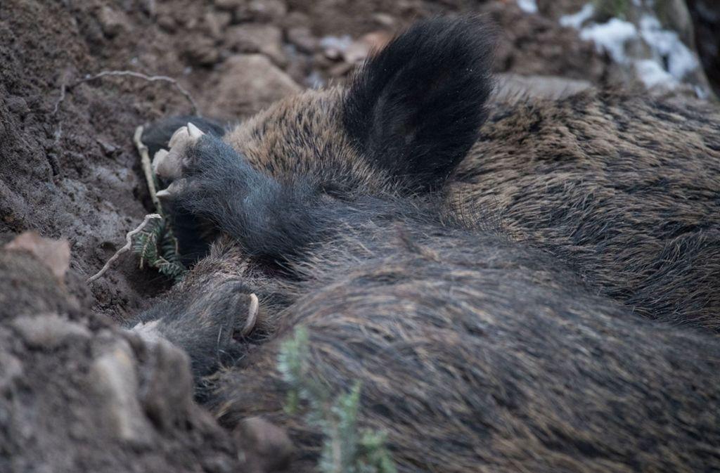 Agrarminister Hauk will in diesem Jahr bis zu 100 000 Wildschweine schießen lassen. Foto: dpa