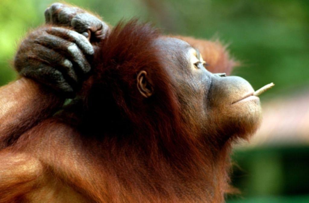 Dem Orang-Utan-Weibchen Tori werfen Besucher eines indonesischen Zoos Zigaretten ins Gehege. Foto: dpa