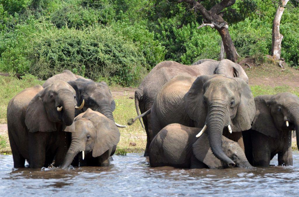 Elefanten trinken Wasser im Chobe-Nationalpark. Foto: dpa