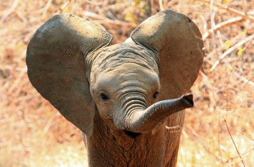 Baby-Elefant  fällt Kot auf den Kopf