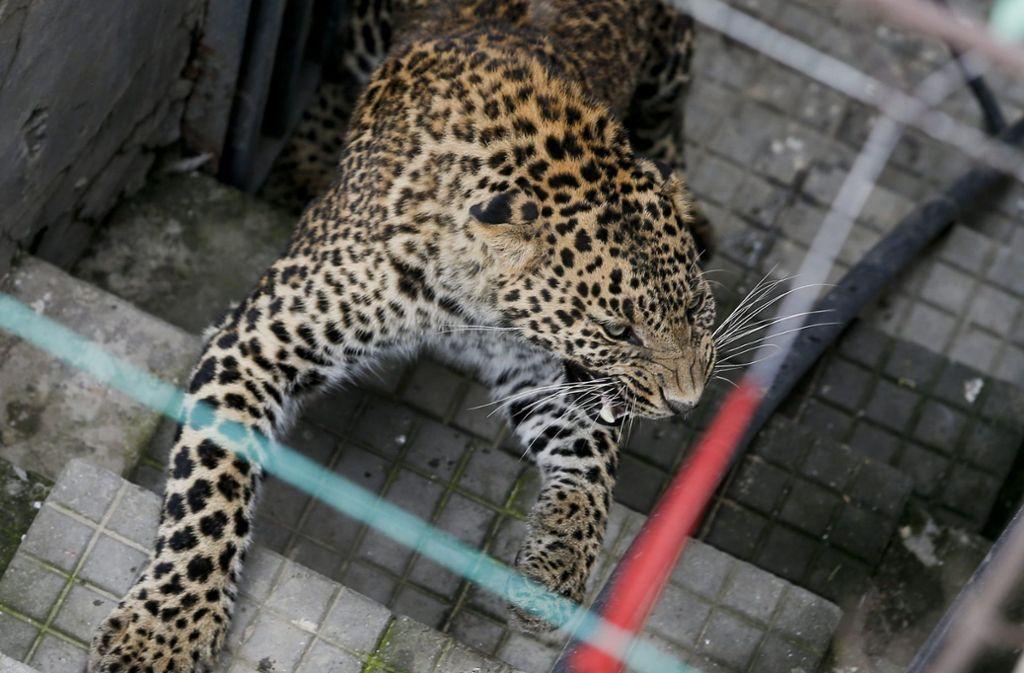Leoparden in freier Wildbahn sind gefährliche Tiere. (Symbolbild) Foto: dpa