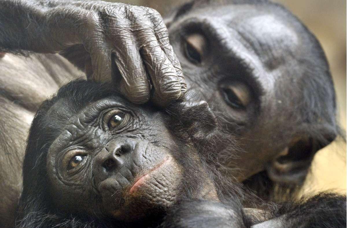 Bonobos (hier eine Mutter und ihr Jungtier im Zoo von Frankfurt am Main bei der Fellpflege) haben als Menschenaffen ähnlich wie eine sehr hohe Ansteckungsgefahr für den Corona-Virus. Foto: Boris Roessler/dpa