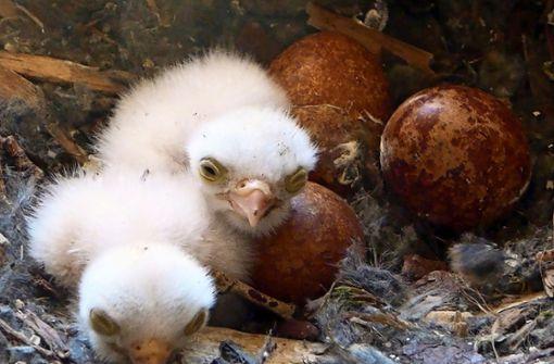 Drei  Falkenküken sind schon geschlüpft