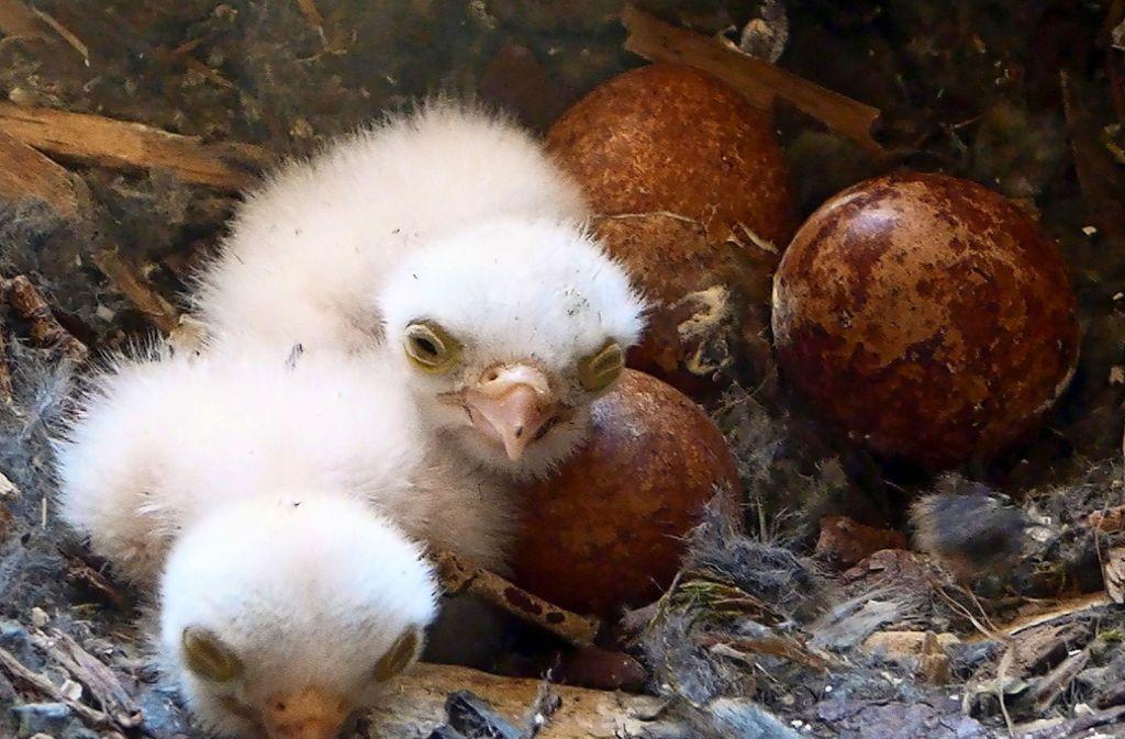 Die frisch geschlüpften Küken blicken noch etwas verschlafen drein. Das Falkenpaar wird den Nachwuchs nun aufziehen. Foto: privat