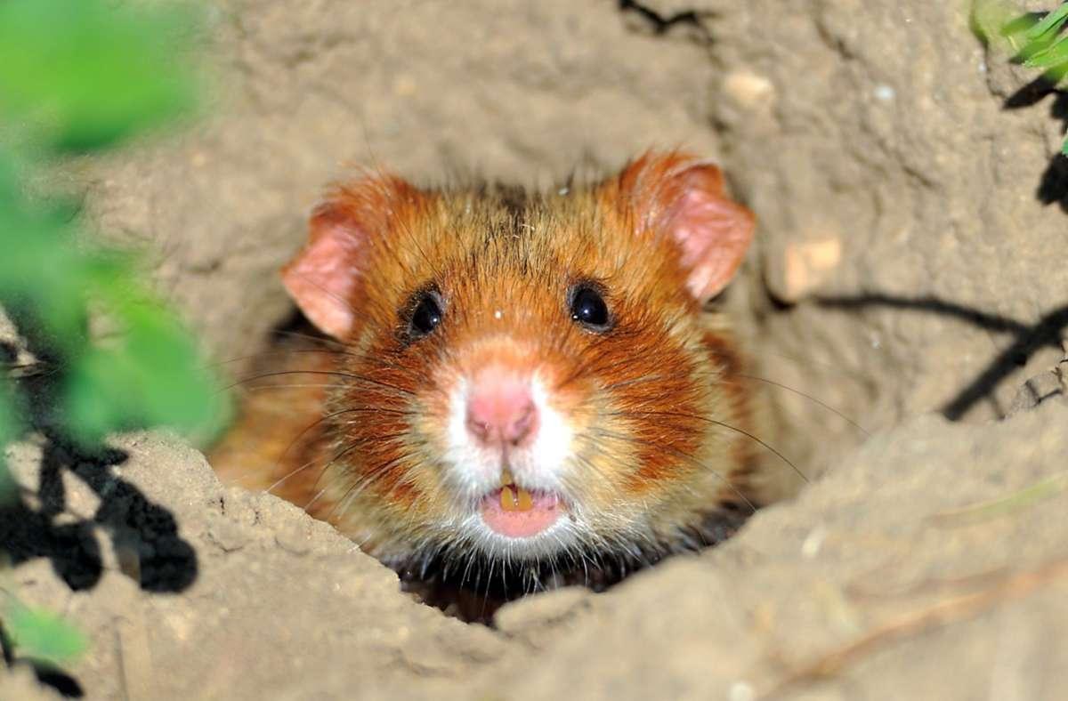 Feldhamster sind, so wie viele andere Tierarten, in Baden-Württemberg vom Aussterben bedroht. Foto: dpa/Uwe Anspach