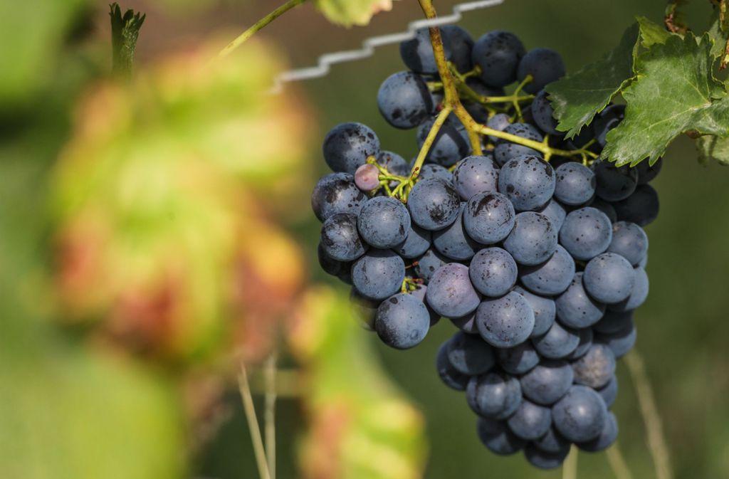 Der Württemberger Wein soll dieses Jahr von hoher Qualität sein. Foto: dpa/Christoph Schmidt