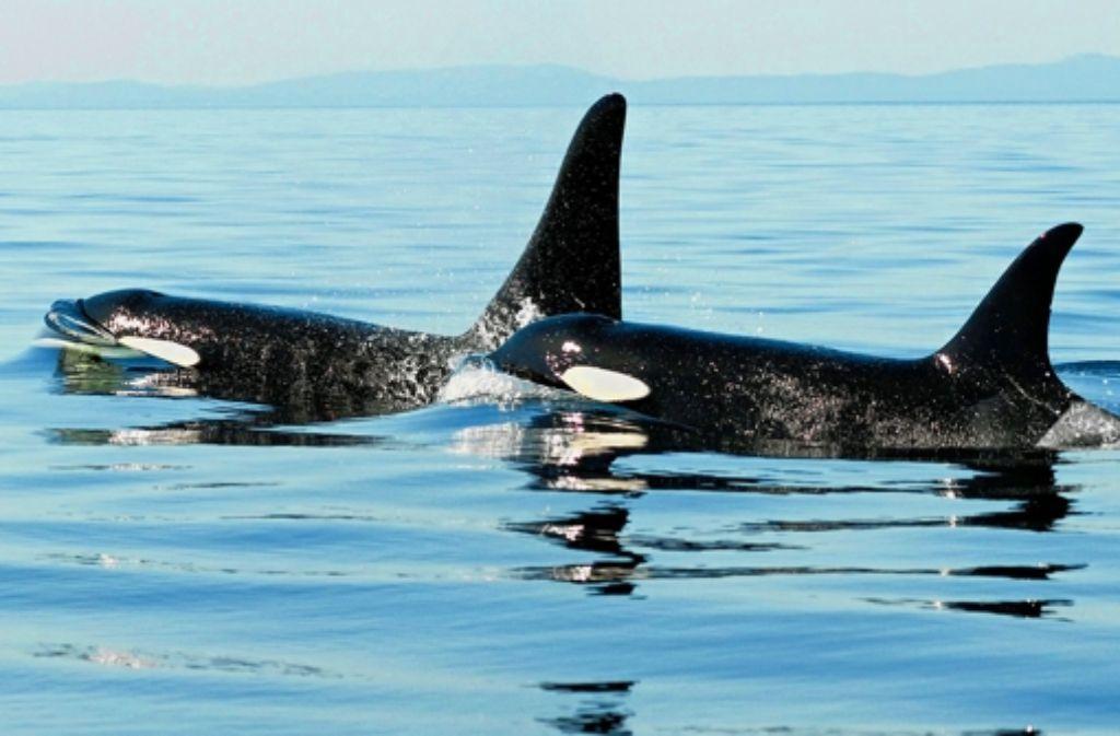 Ein Orca-Weibchen mit einem Sohn (im Hintergrund) Foto: Whale Research