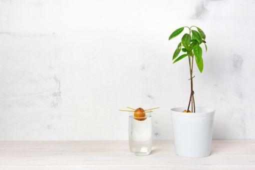 Warum nicht einfach mal den Avocadokern einpflanzne?
