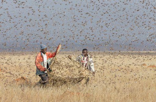 Millionen Heuschrecken fressen Felder kahl