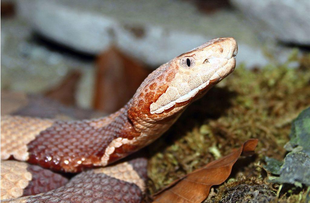Das Gift der Kupferkopfschlange verursacht starke Schmerzen, ist aber für gesunde Erwachsene nicht tödlich. Foto: Archiv (Krisp)
