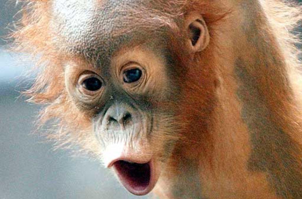 Wer lacht, ist attraktiv – das gilt auch für Orang-Utan-Kinder. Foto: dpa