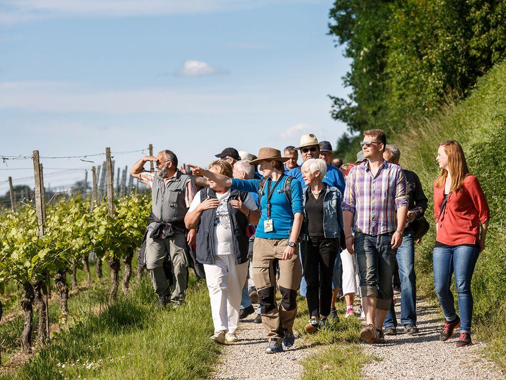 Kulinarische Weinwanderung am Rande des Schwarzwaldes - durch die Reben in Bad Krozingen.  Foto: Kur und Bäder GmbH Bad Krozingen