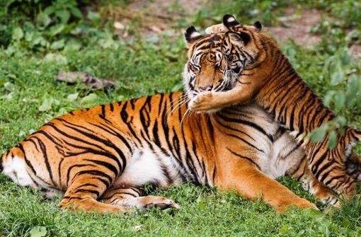 Sumatra-Tigerin Dumai feiert 20. Geburtstag