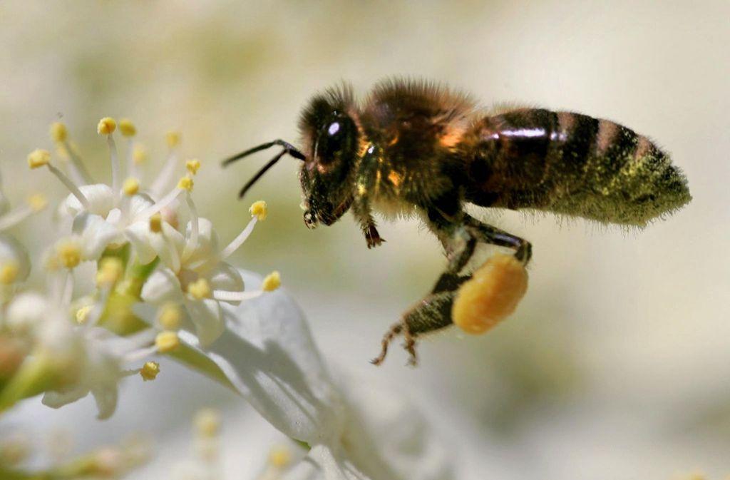 Eine Honigbiene sammelt Pollen und Nektar. Foto: dpa
